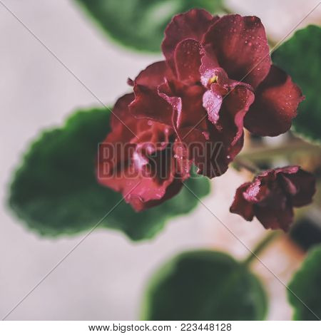Flowering Saintpaulias, Commonly Known As African Violet. Mini Potted Plant. Collectible Violet. Mac