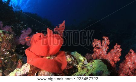Spanish Dancer nudibranch eggs