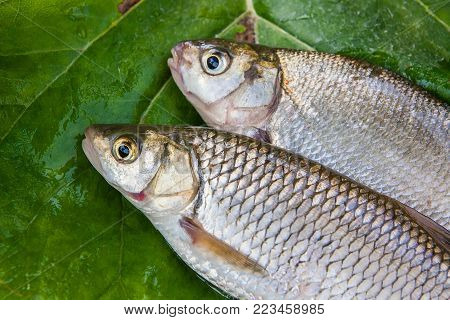 Single Freshwater Fish Common Bream On Natural Background..