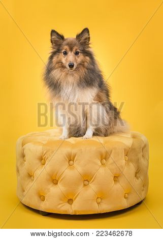 Shetland sheepdog sitting on a yellow pouf looking at the camera on a yellow background