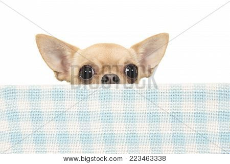 Cute chihuahua dog peeking over the edge of a blue and white checkered box on a white background