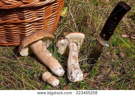 Macrolepiota Procera Or Lepiota Procera In The Forest. .