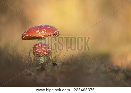 Fly agaric toadstool on a beautiful autumn day