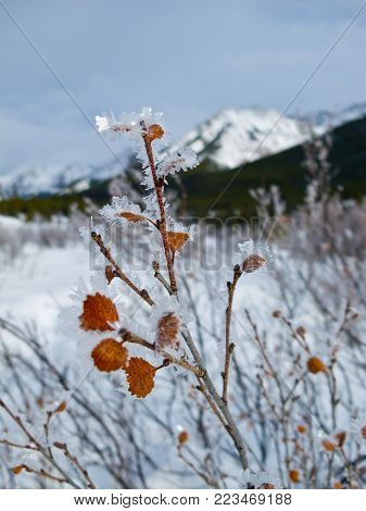Hoar frost covered shrub in the Canadian Rockies, Banff National Park, Canada