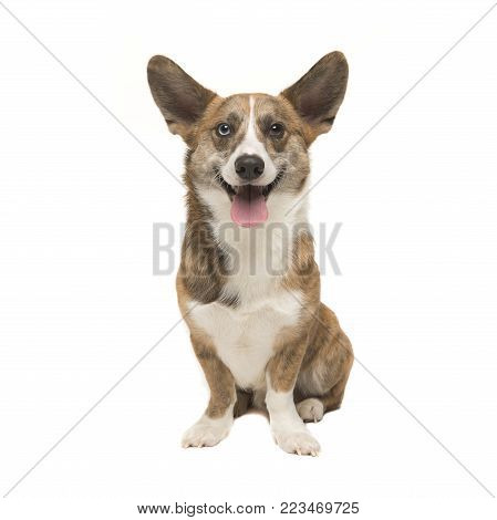 Welsh corgi pembroke adult dog seen from the front facing the camera smiling with its tongue sticking out isolated on a white background