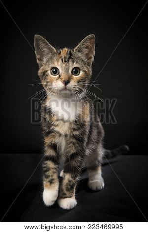 Pretty tortoiseshell kitten walking towards you seen from the front on a black background