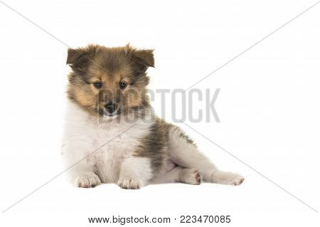 Cute shetlands sheepdog sheltie puppy dog seen from the side looking straight into the camera lying down isolated on a white background