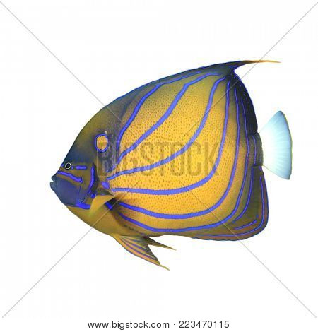 Bluering Angelfish tropical reef fish isolated on white background