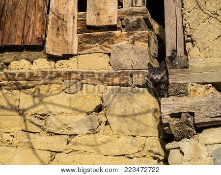 A grey-haired stray cat peeps out from an old wooden barn at the Fore-Balkan village of Debnevo, Bulgaria