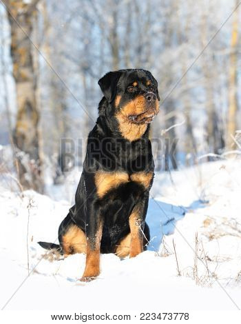 young purebred rottweiler  in the nature