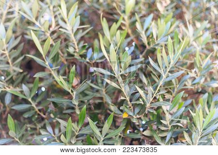 Olive tree with blurred background. Branches with green leaves. Close up view with details.