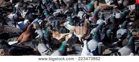 Colorful dovecotes are standing or eating in the middle of a street. Close up view of avian, details