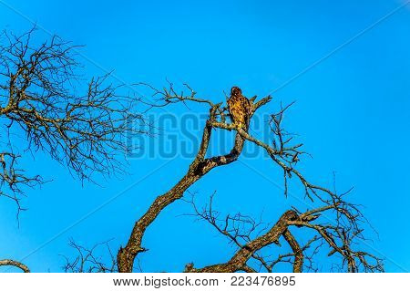 Buzzard perched on a tree branch in Kruger National Park in South Africa