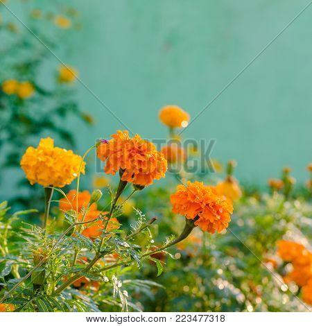 Orange Marigold (tagetes) Flowers In A Flower Bed, Summer Flowers With Vivid Colors