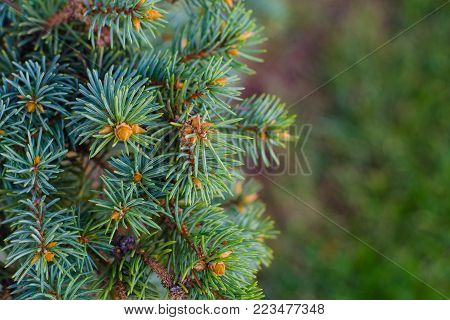 Closeup of fir tree branch isolated on summber backgrou