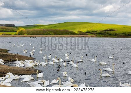 Bay with birds and green hills on background. Swannery at Abbotsbury, Dorset