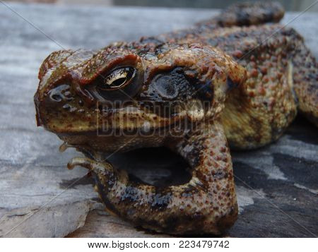 Close up of an Australian cane toad