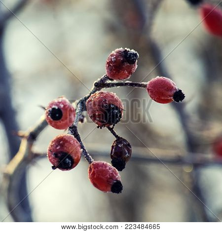 Frozen wild rose hips from sweet briar covered with ice crystals (Rosa rubiginosa)