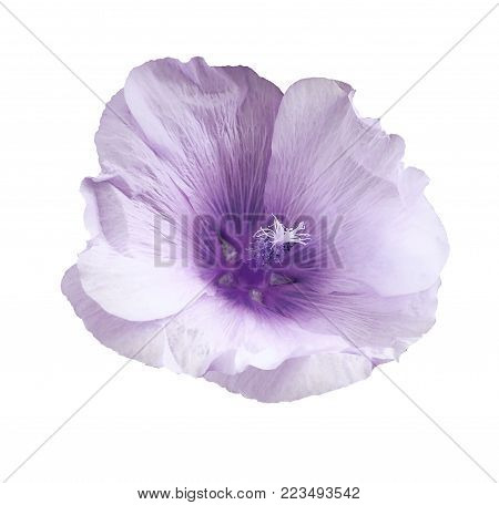 White-violet flower  mallow  on a white isolated background with clipping path  no shadows.   For design.   Closeup.  Nature.