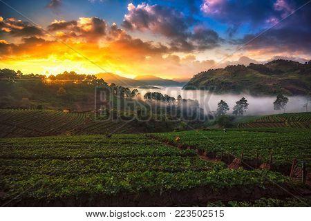Beautiful Sunrise And Mist At Strawberry Field At Doi Angkang , Chiang Mai , Thailand