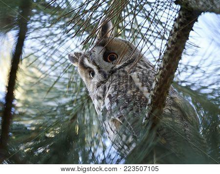 Long eared owl resting in a tree in its habitat