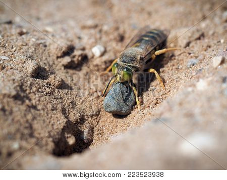 Bembix rostrata is digging a hole in the sand. Sand wasp dragging a huge stone
