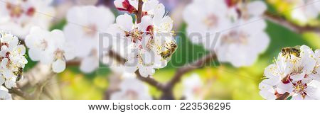 Spring. Bees collects nectar (pollen) from the white flowers of a flowering cherry on a  blurred background of nature, a banner for the site. Panorama. Blurred space for text. Skinali.