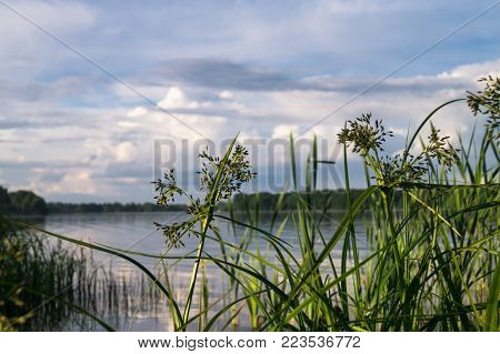 Bulrush and its bunches of small spikelets. The Biserovo lakefront, Moscow region.