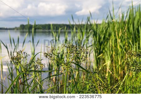 Bulrush and its bunches of small spikelets. The Biserovo lakefront, Moscow region, Russia.