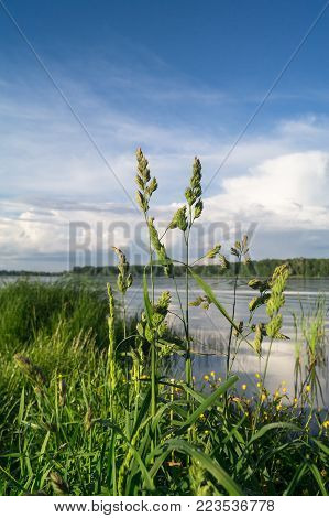 Dactylis glomerata under the evening golden sunlight on the Biserovo lakefront, Moscow region, Russia.