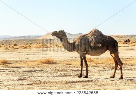 Side view of dromedary alone in the moroccan desert