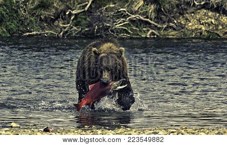 A brown bear fishing salmons in the Katmai peninsula, Alaska