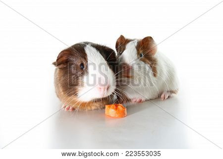 Guinea pigs on studio white background. Isolated white pet photo. Sheltie peruvian pigs with symmetric pattern. Domestic guinea pig Cavia porcellus or cavy. Cute.