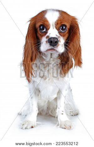 Spaniel dog puppy on white. Funny and cute cavalier king charles spaniel dog puppy on isolated white studio background for every concept.. Cute.