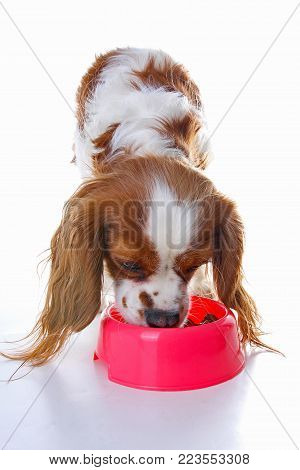 Dog puppy eating. Dog food photo illustration on white background. Cavalier king charles photos. Cute.
