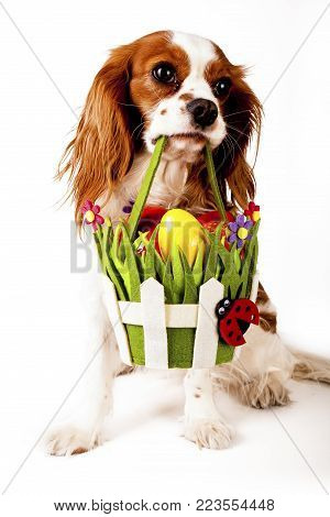 Easter eggs in basket with easter dog. Happy easter. Cavalier king charles spaniel holding easter egg basket on isolated white background. Cute.