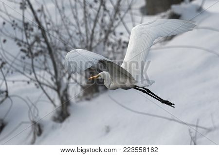 Great white heron in white snow wind during cold winter. Wildlife scene from nature. Snow storm with bird. Heron with snow in the nature habitat. Cold snowy winter in Europe.