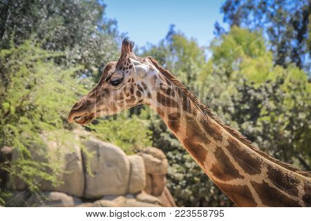Portrait of Giraffe with green background and stone