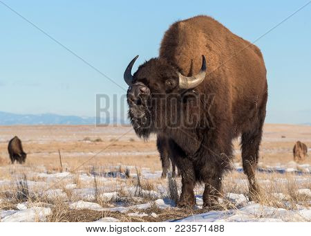 American Bison In Snow Covered Prairie Grass in Colorado