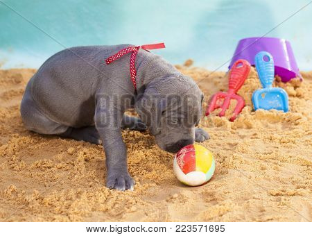 Purebred Great Dane puppy smelling a small beachball on sand