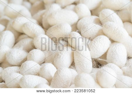 Silk Cocoon That Is Processed To Yield Silk Fiber