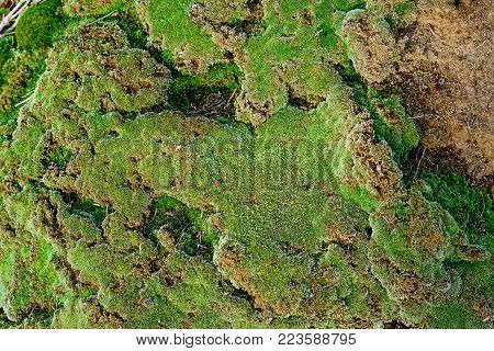 Green Moss Growing On Old Brick Wall, Evergreen Green Moss In Nature