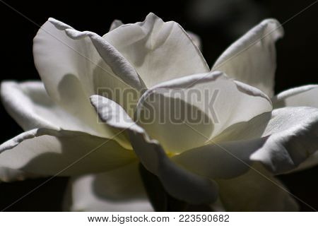 Beautiful artistic white rose with shadowy background illuminated by the sun in a garden.