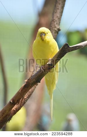 Small Yellow Budgie Parakeet Living in Nature