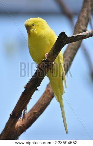 Stunning Little Yellow Parakeet on a Branch