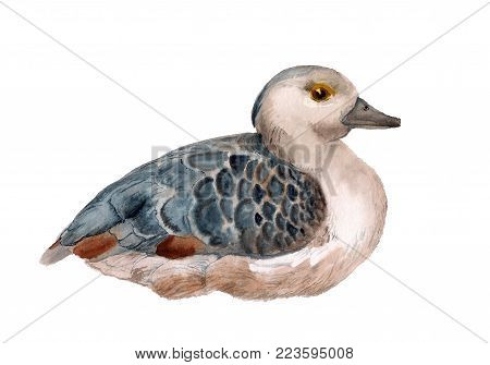Watercolor image of lesser whistling duck on white background