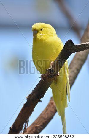 Vibrant Yellow Parakeet in Nature Up Close