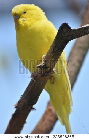Beautiful Yellow Budgie Parakeet on a Branch