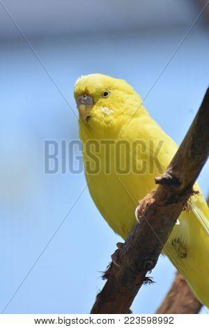 Nice Close Up of this Adorable Yellow Parakeet