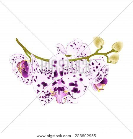 Branch orchids flowers dots purple and white  Phalaenopsis tropical plant  stem and buds on a white background vintage vector illustration for design hand draw